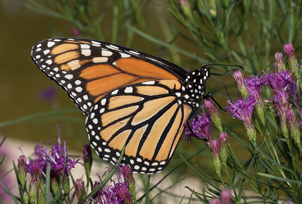 Papillon Monarch Butterfly